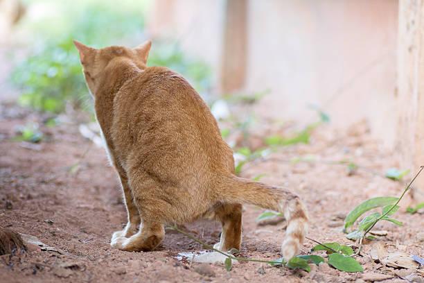 incontinencia en gatos tratamiento