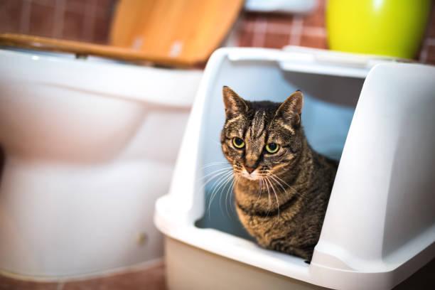 problema de incontinencia en gatos
