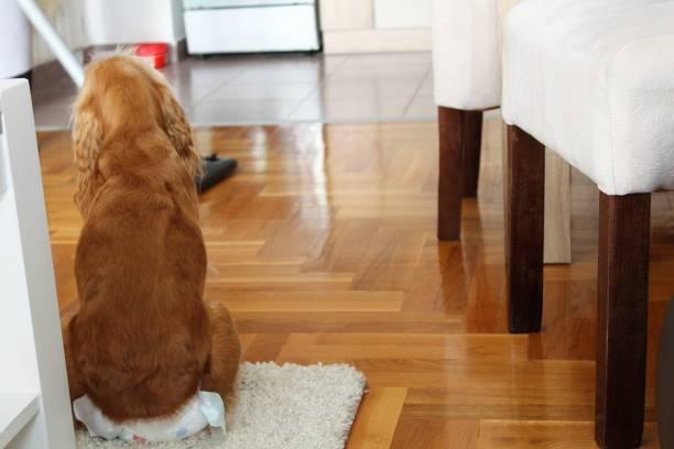 perro con pañal para incontinencia