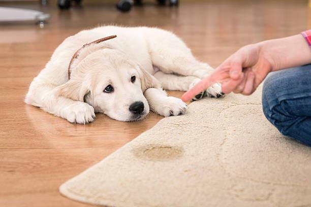 perro padece de incontinencia
