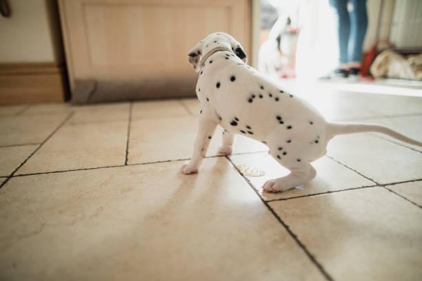 perro dalmata orinando