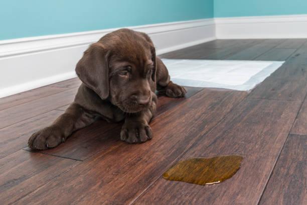perro sufre de incontinencia urinaria