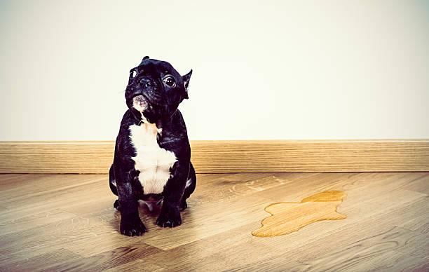 la incontinencia en los perros