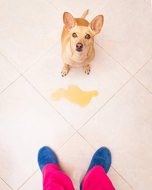 perro con incontinencia urinaria