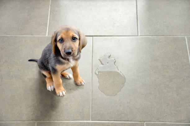 perro con pérdida involuntaria de orina